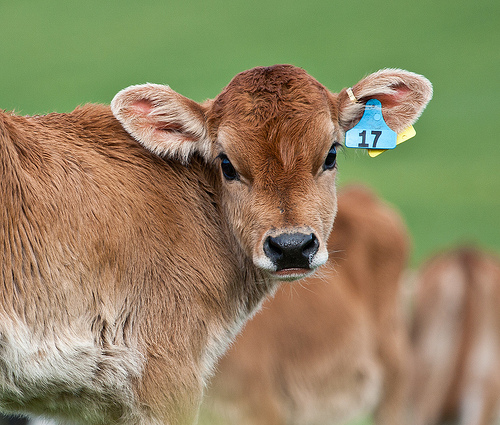photo of calf with ear tag